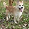 Tom, chien Griffon fauve de Bretagne