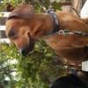 Tom, chien Teckel