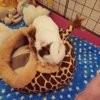 Photo de Tomoe, rongeur Cochon d'Inde - 422352