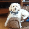 Toupty, chien Caniche