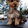Tsuki, chien Yorkshire Terrier
