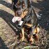 Tyler, chien Rottweiler