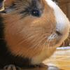 Valentin, rongeur Cochon d'Inde
