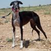 Valesca, chien Lévrier espagnol