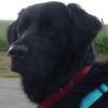 Vendal, chien Flat-Coated Retriever