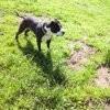 Venum, chien American Staffordshire Terrier