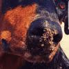 Venus, chien Dobermann