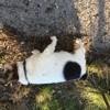 Vicki, chien Jack Russell Terrier