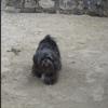 Vickie, chien Shih Tzu