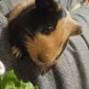 Vizir, rongeur Cochon d'Inde