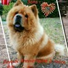 Winny, chien Chow-Chow