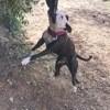 Xéna, chien Staffordshire Bull Terrier