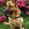 Xena, chien Berger belge