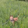 Xenna, chien Bull Terrier