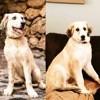 Zara, chien Rafeiro do Alentejo