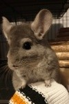 Zeus, rongeur Chinchilla