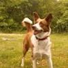 Zitoune, chien Berger de l'Atlas