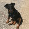 Zyra, chien Jagdterrier