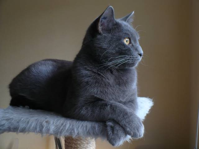 Cassys, chat Chartreux