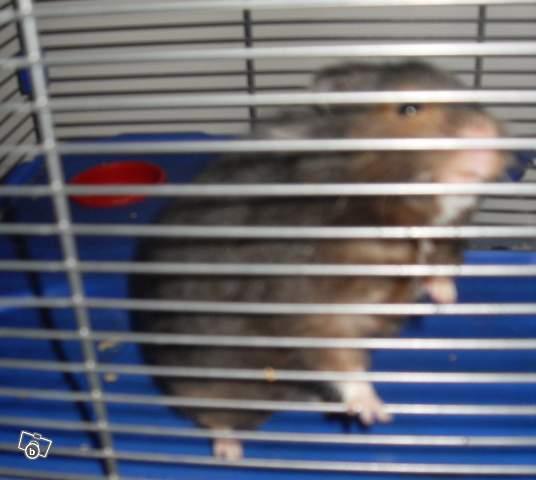 angora, Hamster