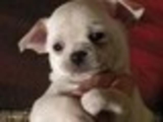 Dido, chien Chihuahua
