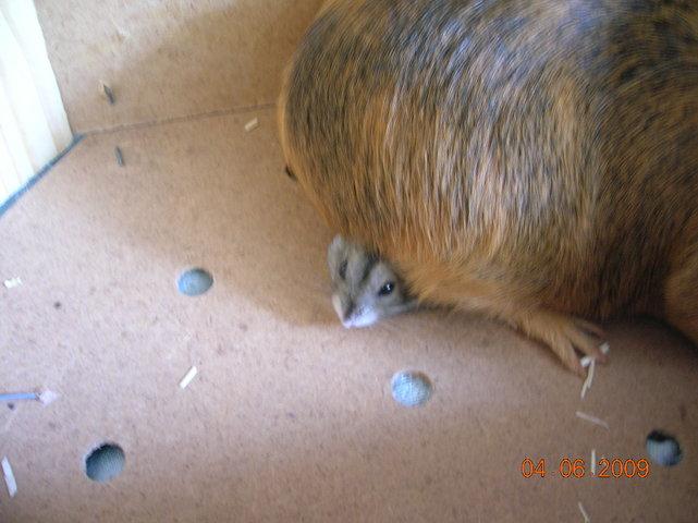 Peanut, Hamster