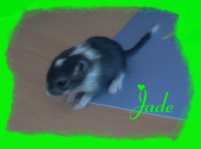 Jade, Gerbille
