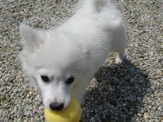 Lola, chien Spitz allemand