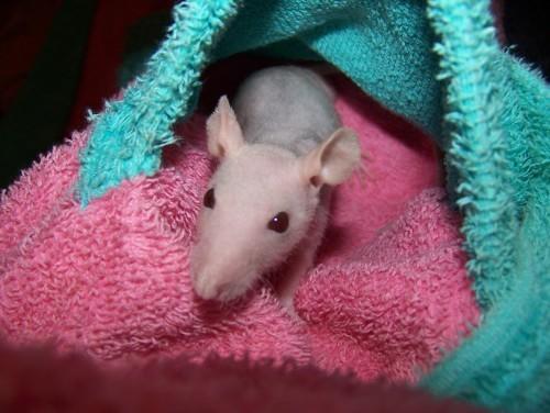 Minidou, Rat