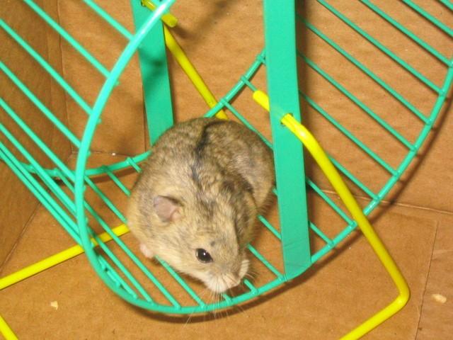 Fripon, Hamster