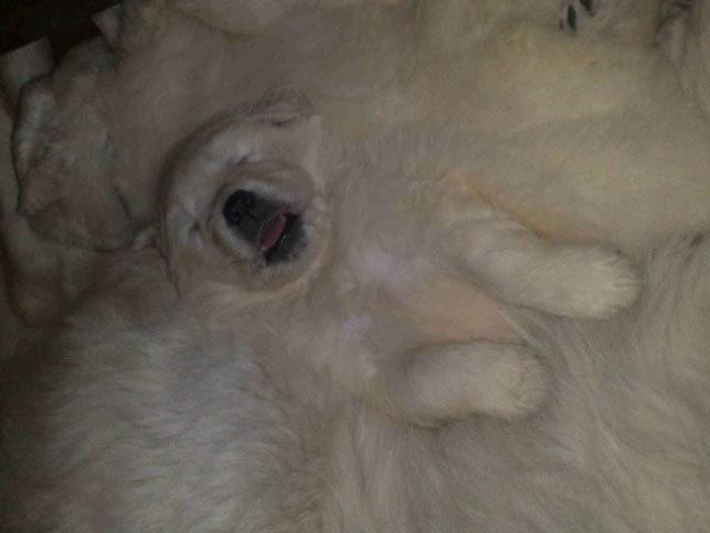 B b chien slovensky cuvac wamiz - Image bebe chien ...