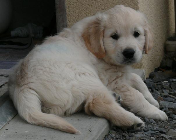 Earley, chien Golden Retriever