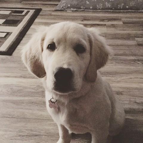 Abby, chiot Golden Retriever