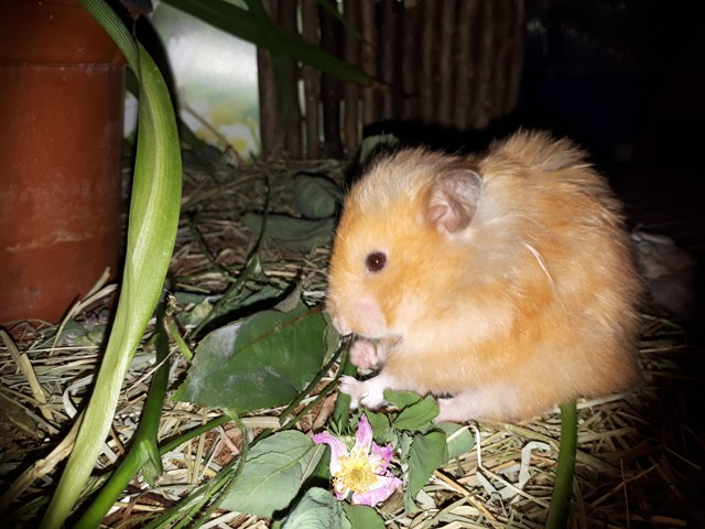 Abricot, Hamster
