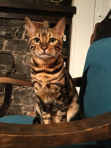 Achille, chat Bengal