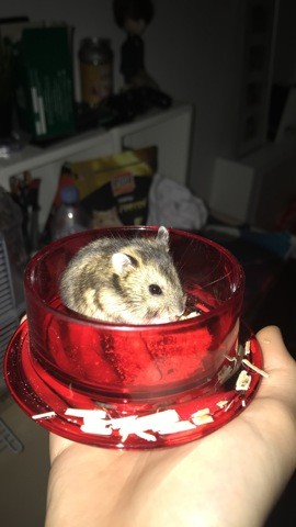 Aiko, rongeur Hamster