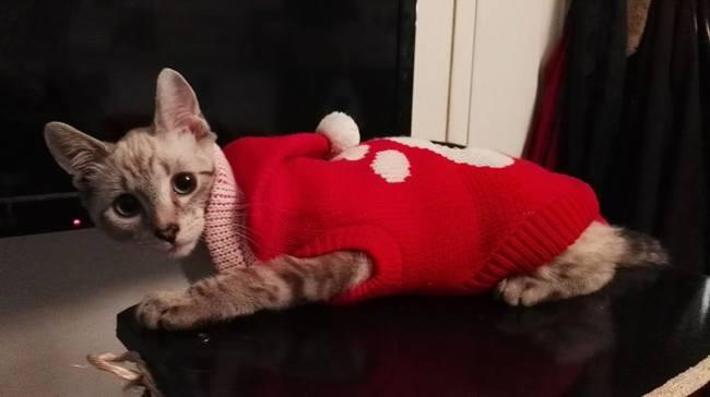 Akela, chaton Siamois