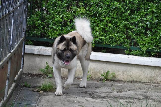 Secret Of Gekkou Jiraya, chien Akita américain