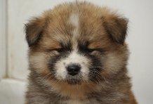Hanaë Go, chien Akita Inu
