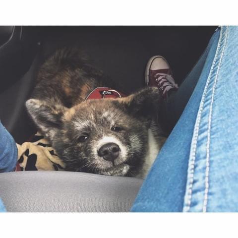Marley, chien Akita Inu