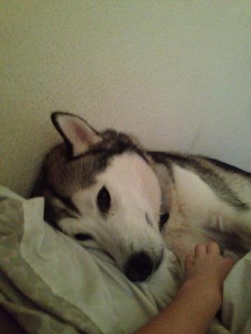 Alaska, chien Husky sibérien