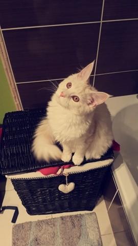 Alba, chaton Maine Coon