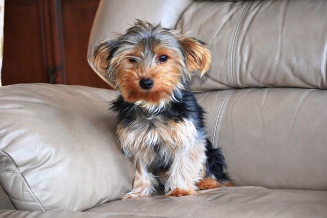 Alda, chien Yorkshire Terrier