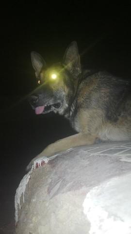 Alen, chien Berger allemand