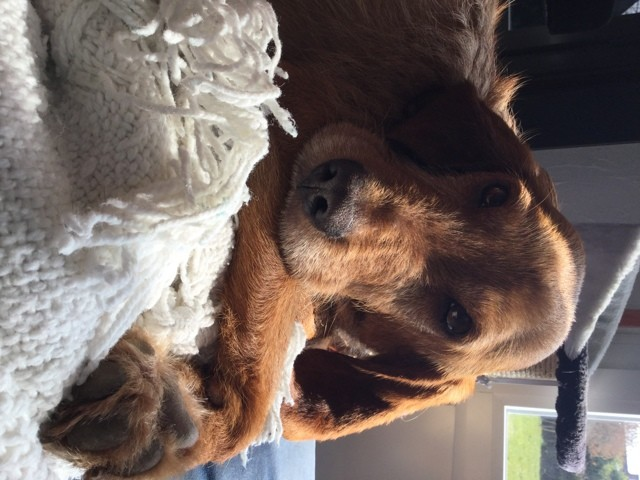 Alf, chien Griffon fauve de Bretagne