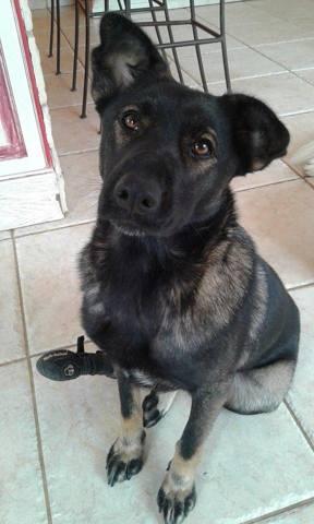 Aliya, chien Berger hollandais