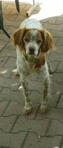 Alizée, chien Épagneul breton