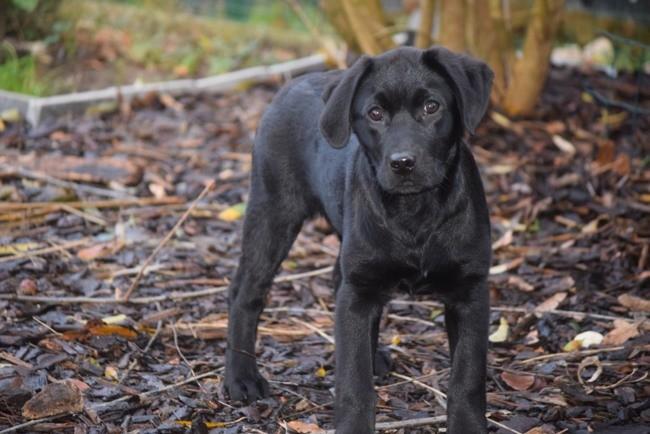 Alpha, chiot Labrador Retriever
