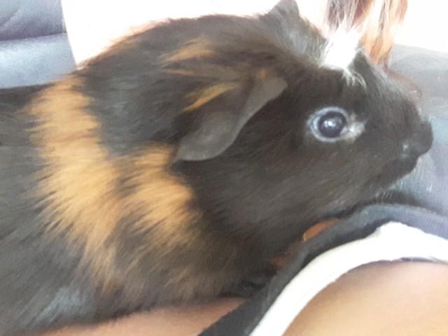 Alvin, rongeur Cochon d'Inde