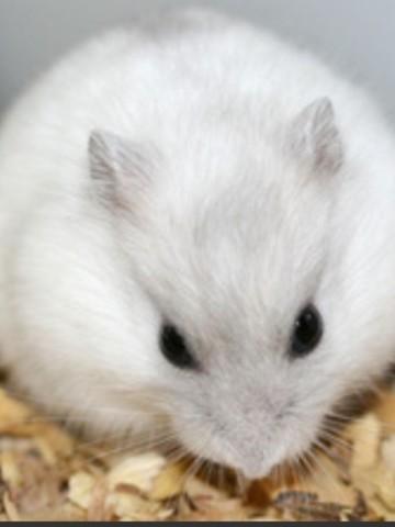 Alvin, rongeur Hamster